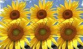 Sunflowers 888